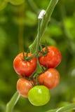 Verschiedene reifende Stadien von Tomaten in einem Gewächshaus Stockfotos