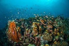 Verschiedene Rifffische schwimmen über Korallenriffen in Gili, Lombok, Nusa Tenggara Barat, Indonesien-Unterwasserfoto Lizenzfreie Stockfotos