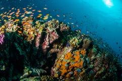 Verschiedene Rifffische schwimmen über Korallenriffen in Gili, Lombok, Nusa Tenggara Barat, Indonesien-Unterwasserfoto Stockbild