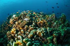 Verschiedene Rifffische schwimmen über Korallenriffen in Gili, Lombok, Nusa Tenggara Barat, Indonesien-Unterwasserfoto Lizenzfreies Stockfoto