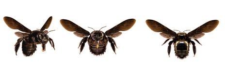 Verschiedene schwarze Biene, groß, wenn der weiße Hintergrund lokalisiert ist Bienencommon im amerikanischen Kontinent und im Eur stockfotografie