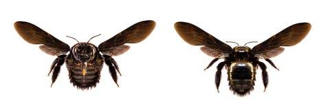 Verschiedene schwarze Biene, groß, wenn der weiße Hintergrund lokalisiert ist Bienencommon im amerikanischen Kontinent und im Eur lizenzfreies stockfoto