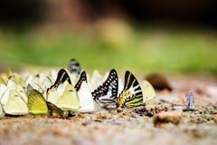Verschiedene Spezies von Schmetterlingen aus den Grund Stockfotos