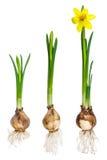Verschiedene Wachstumsstadien einer Narzisse Stockbilder
