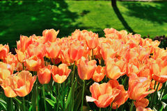 Verschiedene Tulpen im Park Lizenzfreies Stockbild