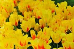 Verschiedene Tulpen im Park Lizenzfreie Stockbilder