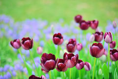 Verschiedene Tulpen im Park Lizenzfreie Stockfotos