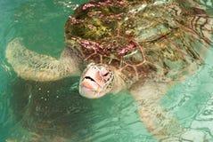Verschijnt de baby groene schildpad aan waterspiegel royalty-vrije stock fotografie