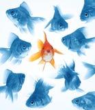 Verschil door goudvis Stock Foto