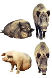 Verschillen tussen binnenlands varken en everzwijn royalty-vrije stock foto's