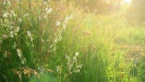 Verschillend gras op het gebied en Saponaria bij zonsondergang Rusland stock videobeelden