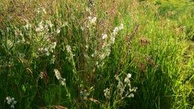 Verschillend gras op het gebied en Saponaria bij zonsondergang Rusland stock footage
