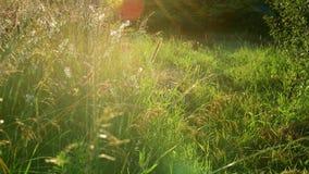 Verschillend gras op het gebied en Saponaria bij zonsondergang Rusland stock video