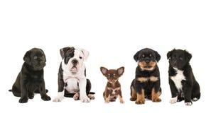 Verschillend ras vijf van puppy die naast elkaar zitten Stock Foto