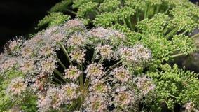 Verschillend soort van insecten die een witte bloem bestuiven stock footage