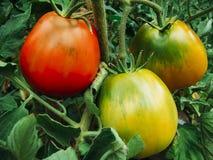 Verschillend stadium van rijpende tomaten in één bos stock foto's