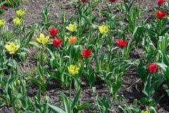Verschillende de bloembloei van de kleurentulp Royalty-vrije Stock Fotografie