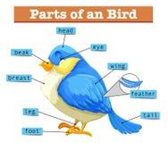 Verschillende delen van weinig blauwe vogel vector illustratie