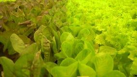 Verschillende die soorten salade vers in serre worden gekweekt stock video