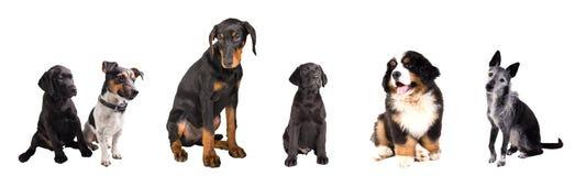 Verschillende geïsoleerde Honden Royalty-vrije Stock Afbeeldingen