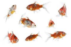 verschillende goudvis 8 Royalty-vrije Stock Foto's
