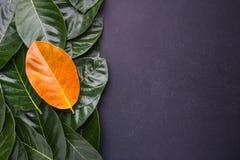 Verschillende kleur en van de donkergroene bladeren van de jackfruitboom en Stock Afbeelding