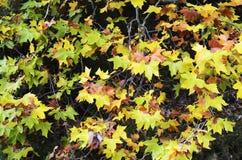 Verschillende kleuren in de herfstbladeren Royalty-vrije Stock Foto