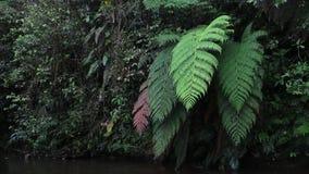 Verschillende kleuren van enorme varens naast een kleine rivier in tropisch regenwoud stock video