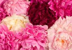 Verschillende kleurenpioenen Royalty-vrije Stock Foto's