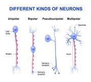 Verschillende soorten neuronen stock illustratie