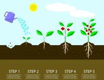 Verschillende stappen van het kweken van installaties Plantend infographic boomproces Stock Foto