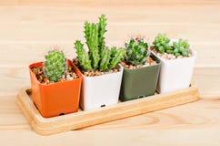 Verschillende succulents en cactus in potten royalty-vrije stock foto's
