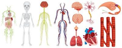 Verschillende systemen in menselijk lichaam stock illustratie