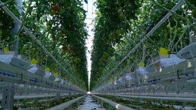 Verschillende tomaten die in serre worden gekweekt stock video