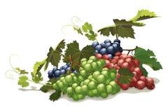 Verschillende verscheidenheden van druiven, stilleven Royalty-vrije Stock Afbeeldingen