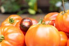 Verschillende verscheidenheden van vergeten groenten, tomaat royalty-vrije stock fotografie