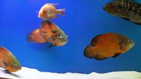 Verschillende vissen op het blauwe scherm De vissen drijven in de waterkolom stock videobeelden