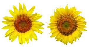 Verschillende zonnebloem twee Royalty-vrije Stock Fotografie