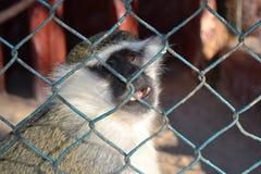 verschlossener trauriger Affenkäfig der Tierfreiheit der Naturwild lebenden tiere Stockfotos