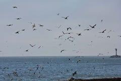 Verschluss von Pelikanen auf Kalifornien-Küste stockbilder