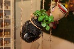 Verschobener Basil Plant Inside Glass Can, Lebensmittel-Thema lizenzfreies stockfoto