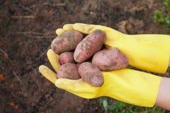 Verse aardappels Royalty-vrije Stock Foto's