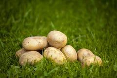 Verse aardappels in een gras Royalty-vrije Stock Fotografie