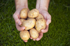 Verse aardappels op handen Royalty-vrije Stock Foto