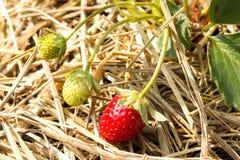 Verse aardbeien die op de wijnstok groeien Royalty-vrije Stock Afbeeldingen