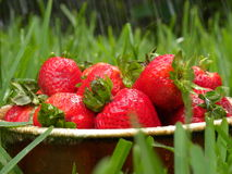 Verse aardbeien in regen Royalty-vrije Stock Foto's
