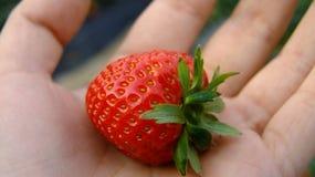 Verse aardbeien ter beschikking Royalty-vrije Stock Afbeeldingen