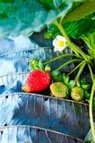 Verse aardbeien in tuin Stock Afbeelding