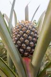 Ananas op de boom Stock Fotografie
