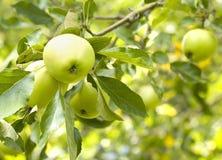 Verse appelen Royalty-vrije Stock Foto's